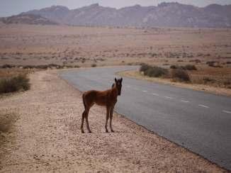 Fohlen der Wüstenpferde