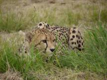 Gepard im CCF
